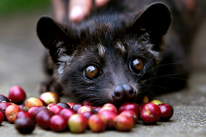 coffee-luwak-bali day tour