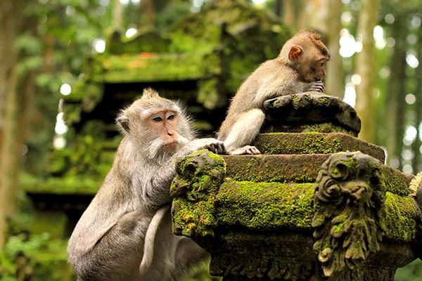 ubud-monkey